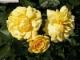 莱州市花-月季
