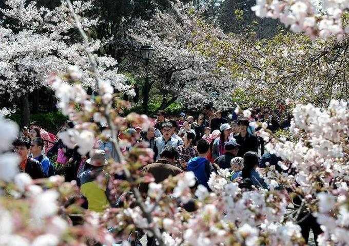 山東青島:櫻花綻放賞春光