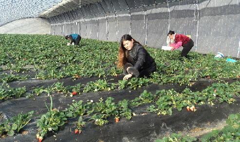 濰(wei)坊市坊子區草莓豐收季帶旺(wang)采摘游
