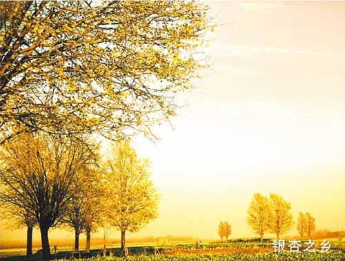 銀杏之鄉(xiang)
