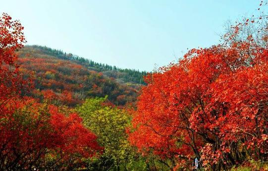 济南红叶谷:深秋时节景区格外迷人/图