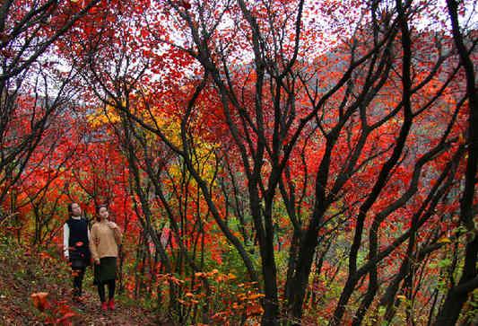 济南红叶谷:黄栌树红似火 似在迎接客人