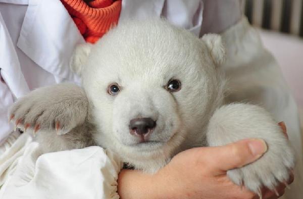 山东蓬莱新添北极熊宝宝