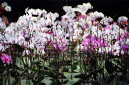 萊州花卉(hui)