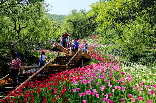 济南红叶谷:郁金香花布满整个欧洲风情谷