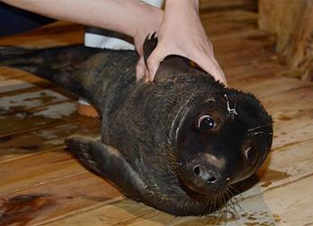 国内首只人工哺育成活灰海豹亮相