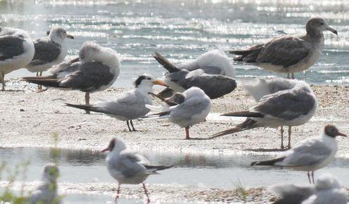世界級瀕危中華鳳頭燕鷗現膠州灣濕地