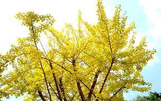 銀杏果實挂滿枝頭 青島八大關葉色變了