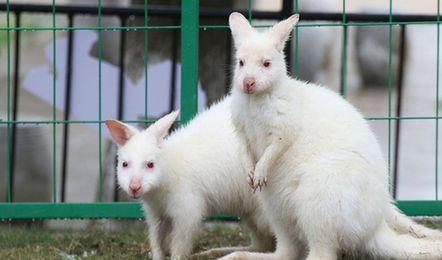 濒危白袋鼠亮相烟台 全世界仅1000余只