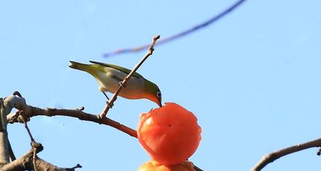 青島中山公園柿子黃 繡眼鳥枝頭覓食