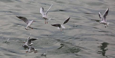 青島:棧橋迎來賞鷗季 海鷗水面覓食