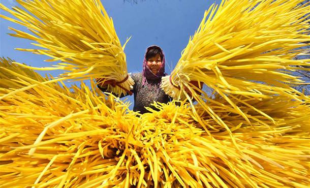 山东沂源 :万池蒜黄遍地金