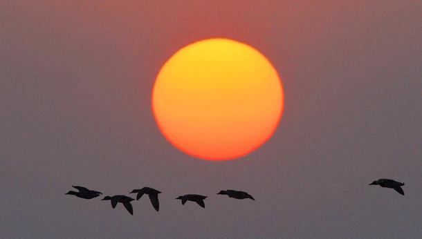 胶州湾湿地海冰缓解 候鸟觅食场面壮观