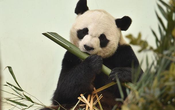 萌翻全场!山东青岛动物园大熊猫卖萌闹新春