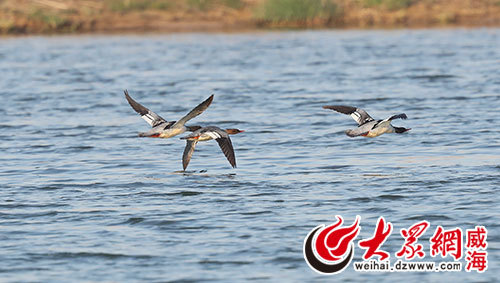 """威海南海新区惊现鸟类""""活化石""""中华秋沙鸭"""