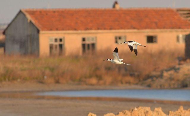 青岛:鹬鸟进入繁殖季 水上安家地当床