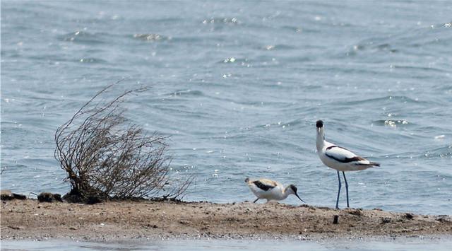 胶州湾湿地:反嘴鹬空中表演美丽舞姿