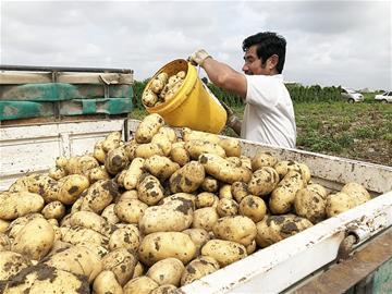 """亩产9.58吨 平度""""希森6号""""马铃薯产量创纪录"""