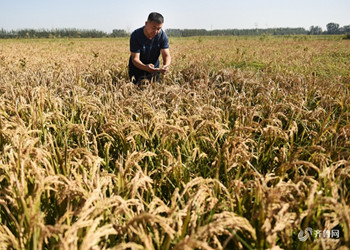 邹平沿黄生态高效现代农业示范区高粱喜获丰收