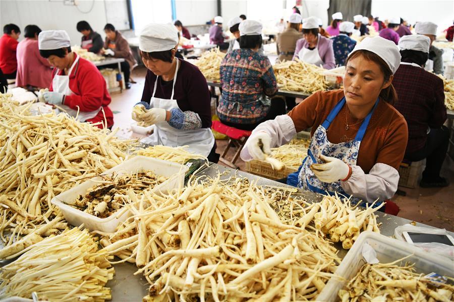 山东沂源:发挥桔梗产业优势 助力脱贫攻坚