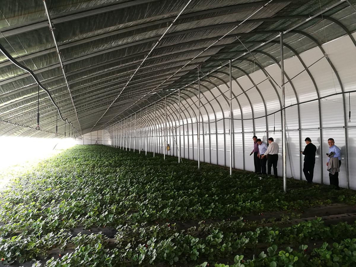 草莓种植大棚