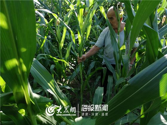 德州玉米倒伏面積37萬畝 田間地頭多舉措助農減損