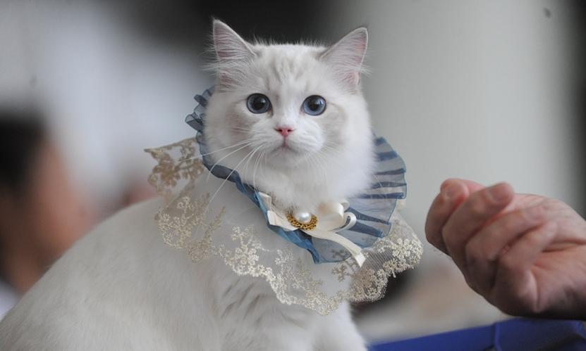 山東煙臺首次舉辦中國純種貓職業超級聯賽