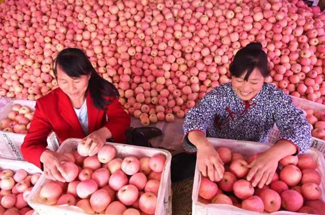沂源县中庄镇苹果