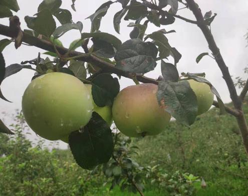 沂源县鲁村镇李家泉村苹果、桃子