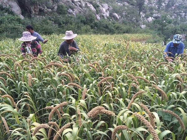 淄博市淄川区岭子镇李里村有机小米