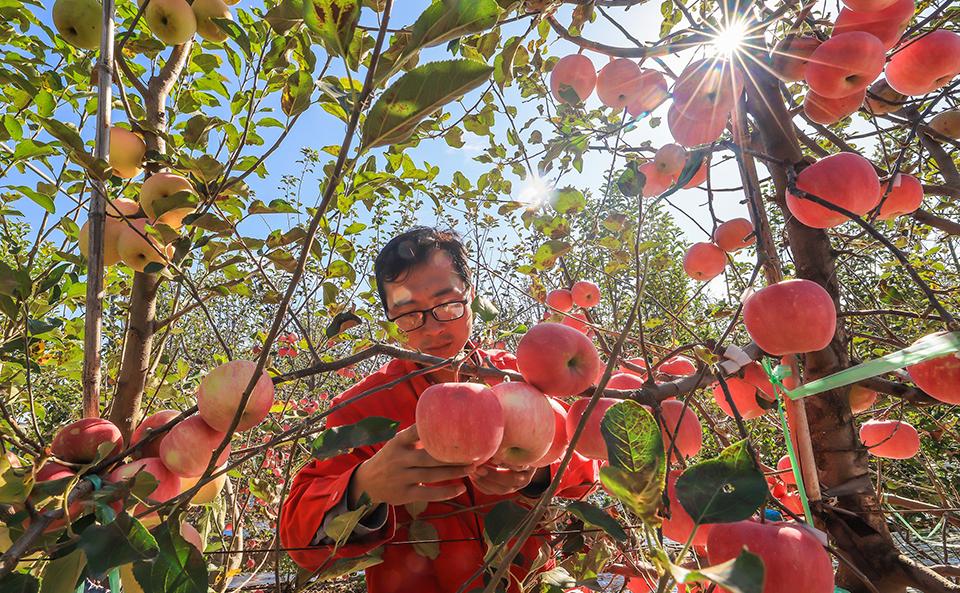 山东荣成:苹果红了