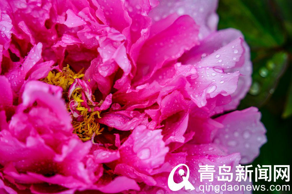 青島中山公園牡丹爭相怒放 此花來自牡丹之鄉菏澤
