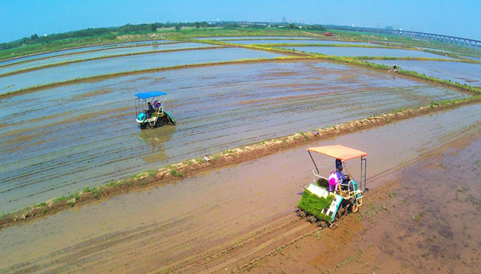 """青島""""海水稻""""開始大面積插播"""