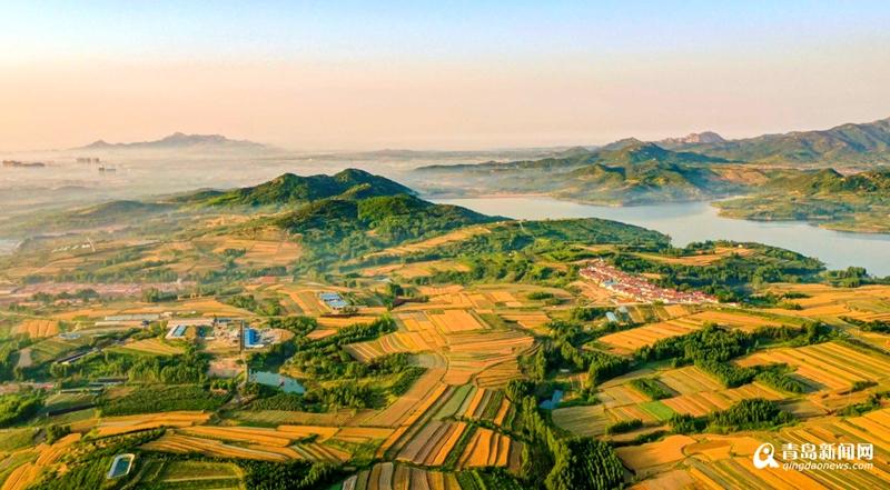 壯觀!青島西海岸新區35萬畝麥田收獲忙