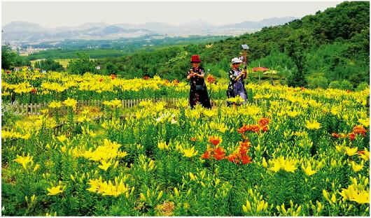 萬畝百合次第開 2021中國·新泰百合節啟動
